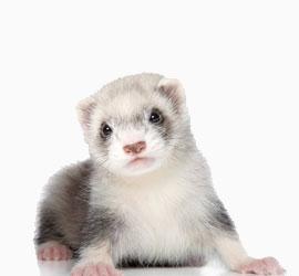 Ветеринарный врач для грызунов, хорьков и других животных